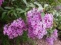 Syringa chinensis Saugeana 2016-05-17 0112.jpg