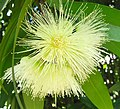 Syzygium jambos3034247809.jpg