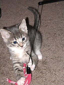 Tabby kitten playing with lure how to play with your cat
