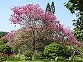 Tabebuia impetiginosa-4-cubbon park-bangalore-India.jpg