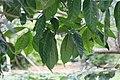 Tabernaemontana orientalis 10zz.jpg