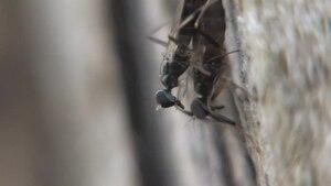 File:Tachypeza nubila in copula - 2012-05-26.ogv