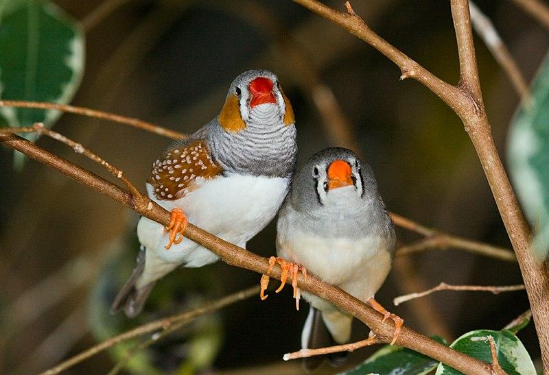 File:Taeniopygia guttata -Bird Kingdom, Niagara Falls, Ontario, Canada -pair-8a.jpg