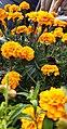 Tagetes-Marigold-Flower 06.jpg