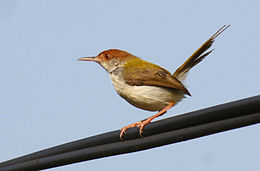 Common Tailorbirds (Orthotomus sutorius)