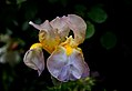 Tall Bearded Iris (10604013534).jpg