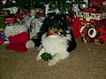 Tank the Sheltie at Christmas.jpg