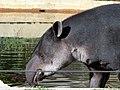 Tapir2006a.jpg