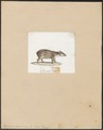 Tapirus americanus - 1700-1880 - Print - Iconographia Zoologica - Special Collections University of Amsterdam - UBA01 IZ22000257.tif