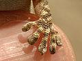 Tarentola mauritanica foot.jpg