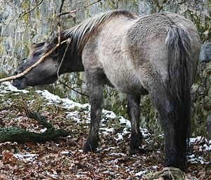 Domestication of the horse - A 'bred back' Heck Horse, closely resembling the now-extinct Tarpan, a subspecies of wild horse extant at the time of original domestication.
