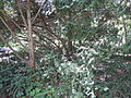 Taxus baccata in Odessa Botanical garden 1.jpg