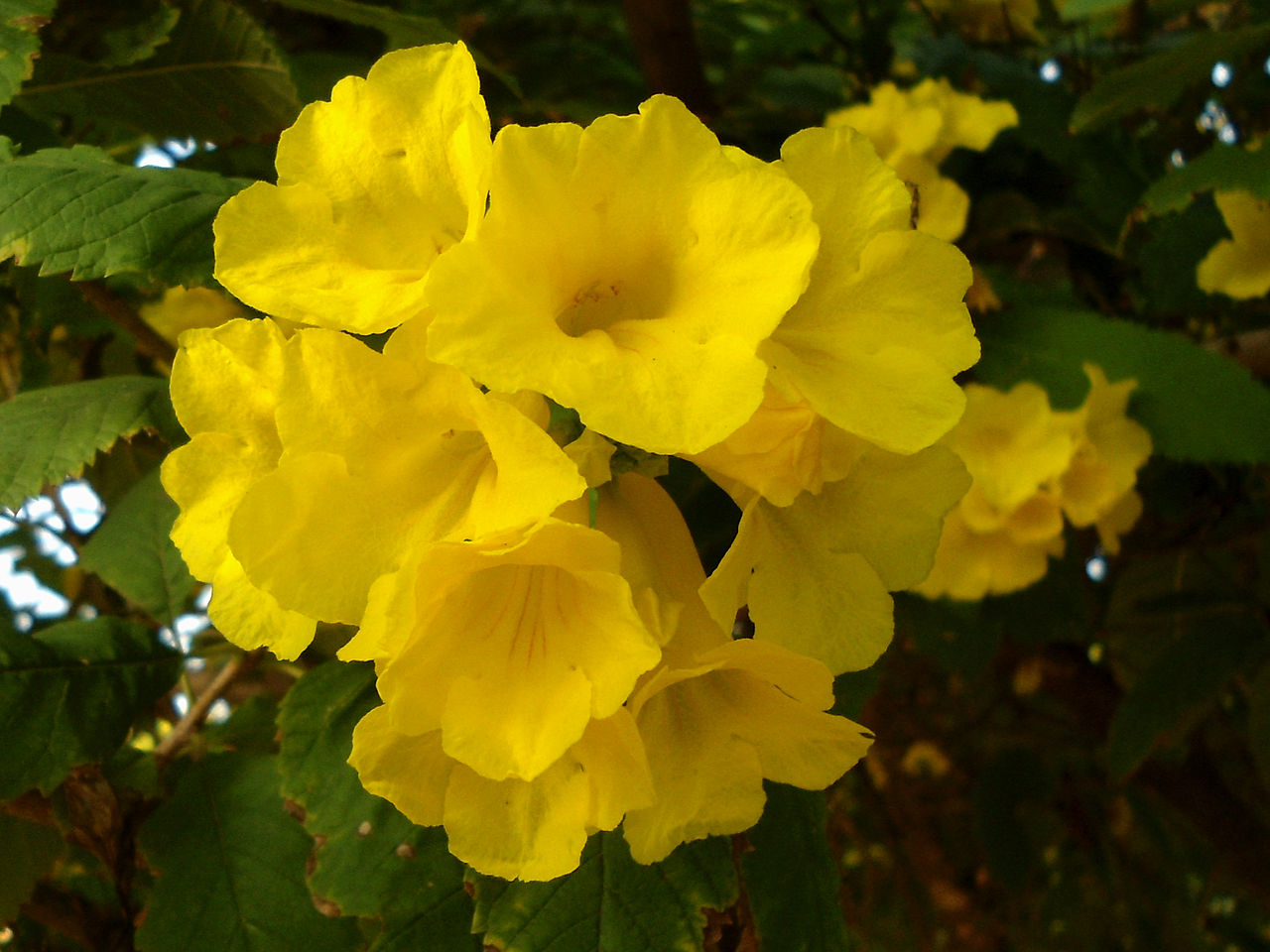 file tecoma stans yellow bell flowers at shilparamam jaatara 02 jpg wikimedia commons. Black Bedroom Furniture Sets. Home Design Ideas