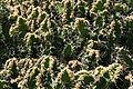 Teguise Guatiza - Jardin - Euphorbia grandicornis 07 ies.jpg