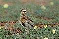 Temminck's courser, Cursorius temminckii, at Mapungubwe National Park, Limpopo Province, South Africa (46138153964).jpg