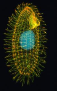 <i>Tetrahymena</i> genus of ciliate protozoa