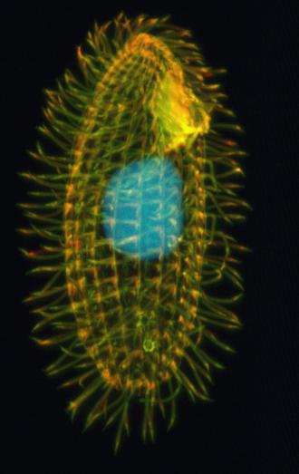 Tetrahymena - Tetrahymena thermophila