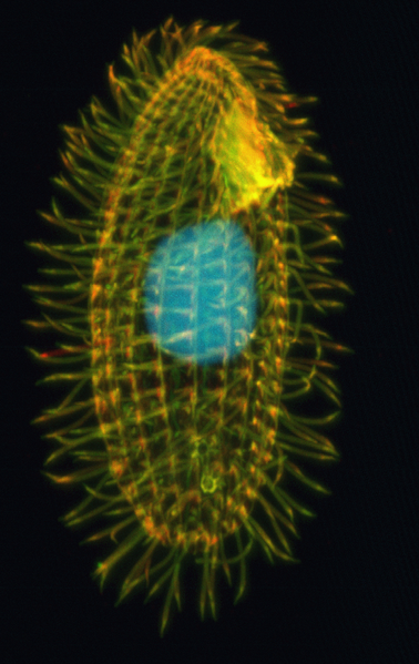 Fasciculus:Tetrahymena thermophila.png