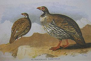 Tibetan snowcock - Illustration from Hume and Marshall, Gamebirds of India, Burma and Ceylon