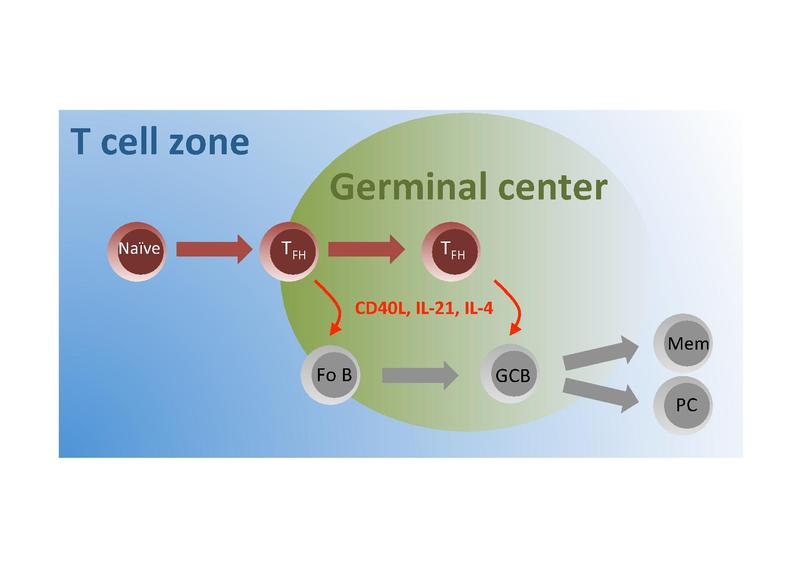 B Cell Activation Germinal Center File:Tfh.pdf - ...