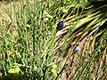 Thamnosma-montana-20080330.JPG