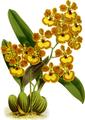 The Orchid Album-01-0038-0012-Oncidium gardneri-crop.png