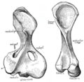 The Osteology of the Reptiles p158.png