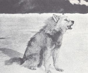 The Wolves of North America (1944) Greenland draught wolf.jpg