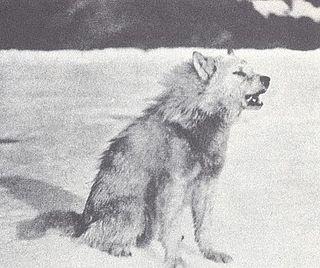 Greenland wolf subspecies of mammal