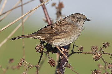 The dunnock (Prunella modularis).jpg
