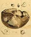 The mineral conchology of Great Britain (Pl. 627) (7976699089).jpg