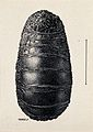 The pupa of a warble fly (Oestrus variolosus). Drawing by A. Wellcome V0022589EL.jpg