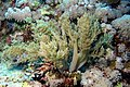The soft coral, Litophyton arboreum (6163166913).jpg