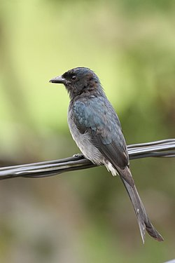 Thimindu White bellied Drongo 1.jpg