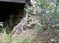 This majestic photo of a bobcat was capture by a remote, wildlife camera. (dd19b1f7-a48b-4dbe-9593-8b8174e50e20).jpg