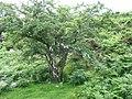 Thorn tree, bracken and artistically arranged wool - geograph.org.uk - 497719.jpg