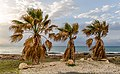 Three palm trees during the sunset, Ayia Marina Chrysochous, Paphos District, Cyprus.jpg