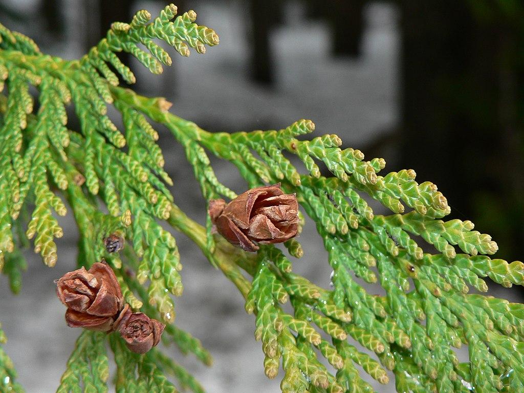 Western Red Cedar  Canoe Cedar  female conesWestern Red Cedar Cones