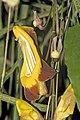 Thunbergia.mysorensis.7084.jpg