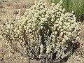 Thymus mastichina 3.JPG