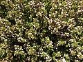 Thymus vulgaris 2020-06-06 9346.jpg