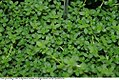 Thymus x citriodorus 2zz.jpg