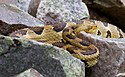 Timber rattlesnake at den site Crotalus horridus.jpg