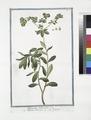 Tithymalus Helioscopius - Titimalo Elioscopio - L'épurge. (Wart- weed) (NYPL b14444147-1124950).tiff