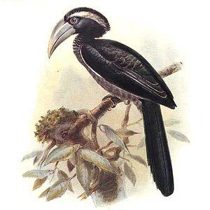Black dwarf hornbill - Image: Tockus hartlaubi