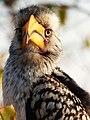 Tockus leucomelas -Kruger National Park, South Africa -head-8.jpg