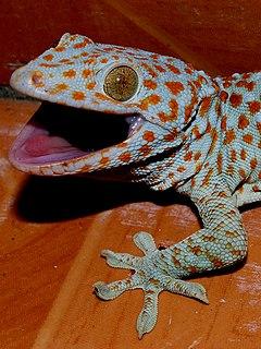 Gekkonidae Family of lizards