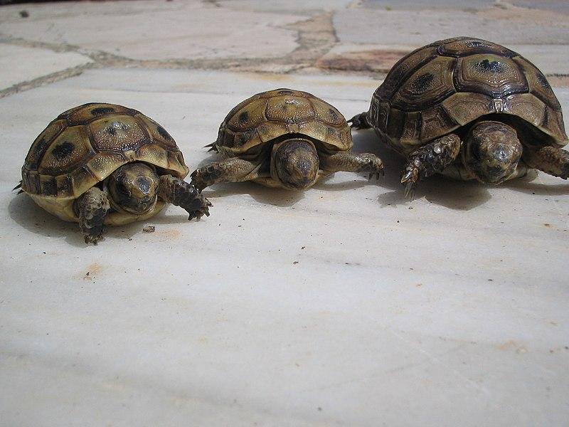 File:Tortugas-rafax.JPG