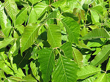 Photograph of green poison ivy leaves