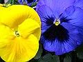 Trädgårdspenséer.jpg
